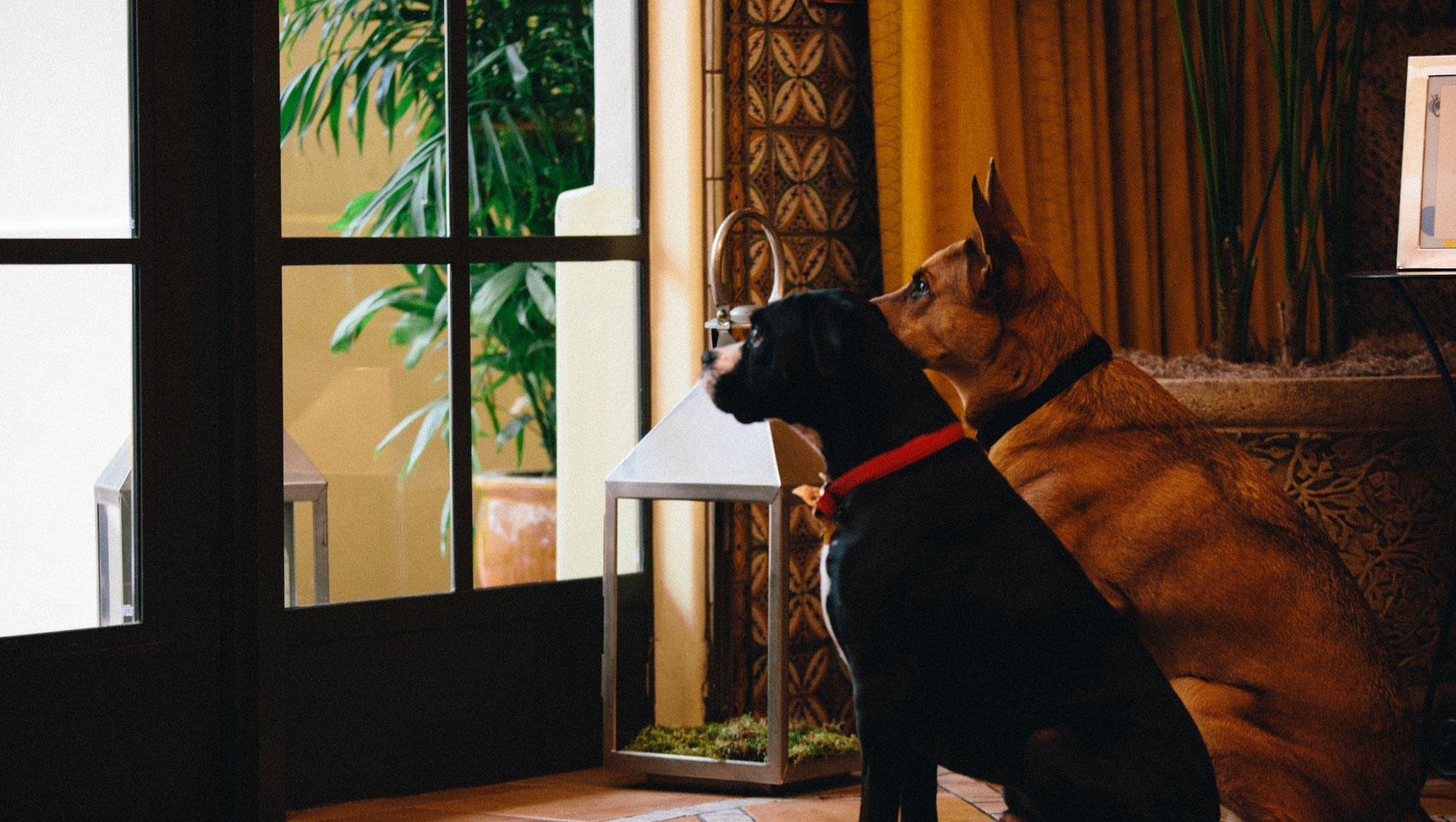 Two dogs looking out the window at hotel canary